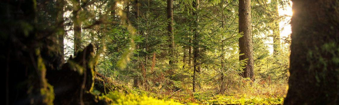 conifer-daylight-environment-338936